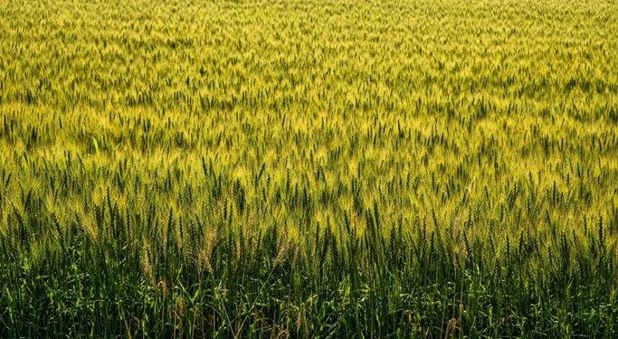 大麦の豊富な栄養でカンジダ菌をやっつけることは出来るのか?