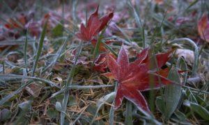 霜の付いた落ち葉