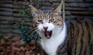 口を開けるネコ