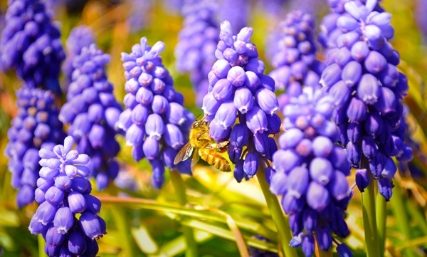 ムスカリとミツバチ